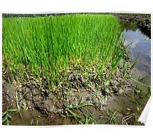 Rice seedlings one week after sowing Poster