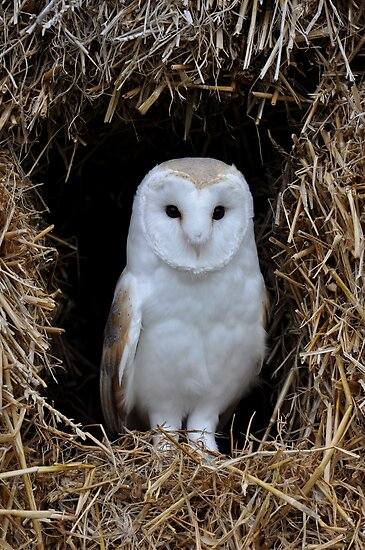 Beautiful Barn Owl by ApeArt