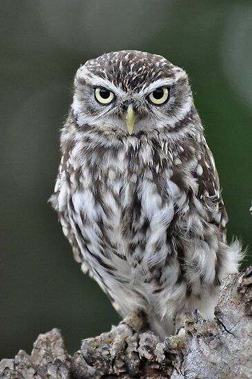 Little Owl by ApeArt