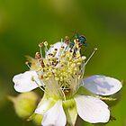 smeraldo su fiore by Dav66