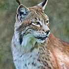 Siberian Lynx by Krys Bailey