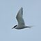 Artic Tern by Lynn Bolt