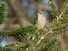 Chipping Sparrow in Pine Tree by Deb Fedeler