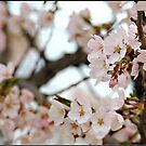 Japanese Cherry Blossoms IV by Lauren Neely