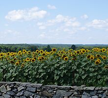 Yellow Sunflowers behind Stone Wall II by kalitarios