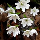 White Hepatica Group. by ChuckBuckner