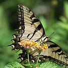 Eastern tiger swallowtail by jozi1