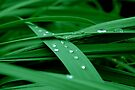 After the Rain on Lily Leaves  by Wviolet28