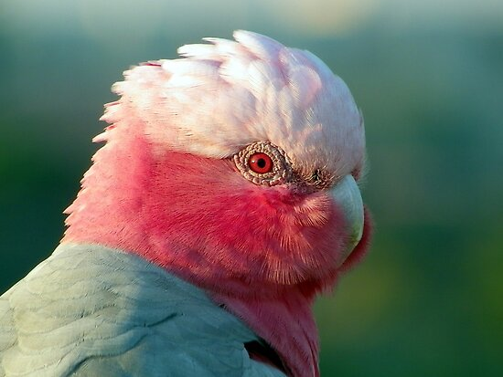 Lonely Galah by Angie66