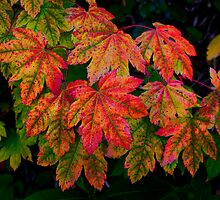 Vine Maple Leaves ~ Fall Colors ~ by Charles & Patricia   Harkins ~ Picture Oregon