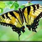 Tiger Swallowtail  by Saija  Lehtonen