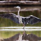 Great Blue Heron Doing the River Dance by David Friederich