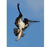 Osprey (Pandion haliaetus) Photographic Print