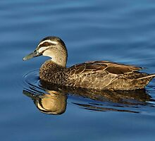 Pacific  Black Duck by DIZZYHEIGHTS