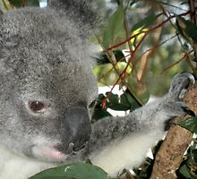 Young Koala, Australia Zoo, Queensland, Australia. by kaysharp