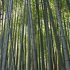 Bamboo by cbrymnerphotos