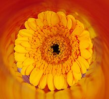 Gerbera Sunset by nicfarrington