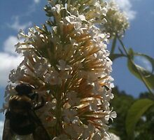 Bee On Butterfly Bush in Coastal Garden - Atlantic Beach, Florida by ShannonRussell