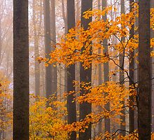MAPLES IN FOG by Chuck Wickham