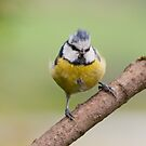 Little windswept Blue tit by Margaret S Sweeny