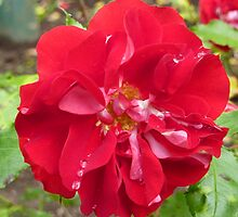 Red Rose and Raindrops by Fara