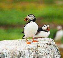 Puffins  (Auk) Stay right there, this one is Mine  by Elaine123