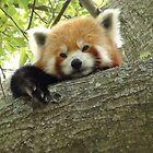 Red Panda by camerawoman1