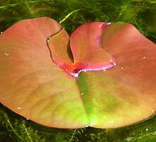Lily Pad by Lynn Bolt