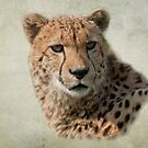 Cheetah (Acinonyx jubatus) by ©FoxfireGallery / FloorOne Photography