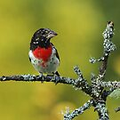 Rose-breasted Grosbeak on Lichen Covered Branch by Bill McMullen