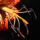 Tiger Lily Detail by Linda  Makiej
