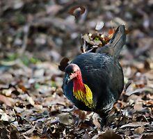 Australian Brush-turkey by Tony Steinberg