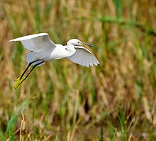 Snowy Egret Landing in Marsh by Joe Jennelle