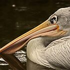 Pink-backed Pelican (Pelecanus rufescens). by Mark Hughes