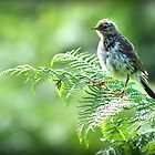 Fledgling Meadow Pipit. by Colin Metcalf