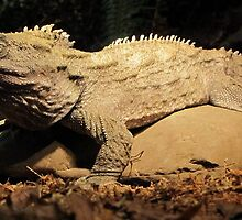 Tuatara Basking by Veronica Schultz