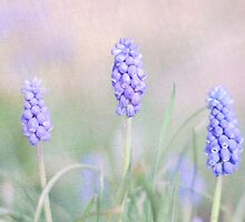 Grape Hyacinths by clare barton