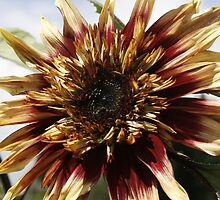Sundance Kid Sunflower by leenicola