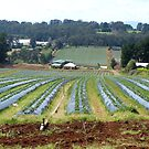 Strawberry fields Dandenong Ranges  by Virginia  McGowan