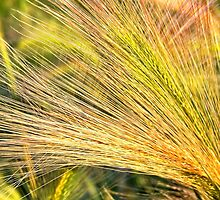 Foxtails 2 by rocamiadesign