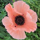 Papaver rhoeas by orko