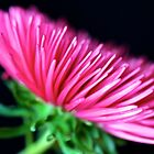 Pink Aster by Mihaela Limberea