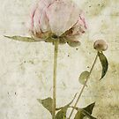 Peony No.3 by Circe Lucas