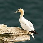 Gannet on Outcrop by Chris West