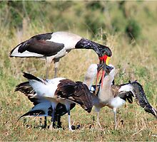 ONE, ONE PLEASE !- The Saddle SADDLE-BILLED STORK - Ephippiorhynchus senegalesis by Magaret Meintjes