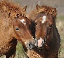 Two Chestnut Shetland Pony Foals by fenwickstud