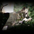 White wolf by AngieBanta