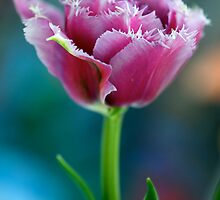 Tulipa by Renee Hubbard Fine Art Photography