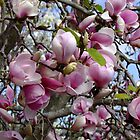 Magnolia Soulangeana - San Jose by Gabrielle  Lees