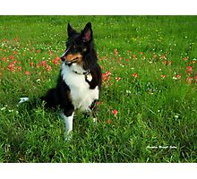 Our Sheltie - 'Kali' Photographic Print